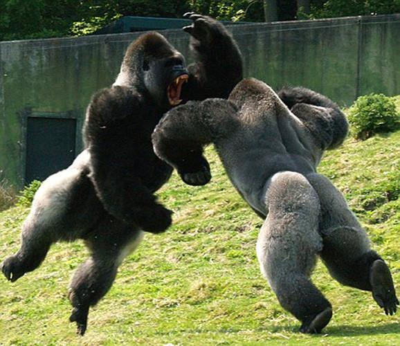 [Image: male_gorillas_fighting.jpg]