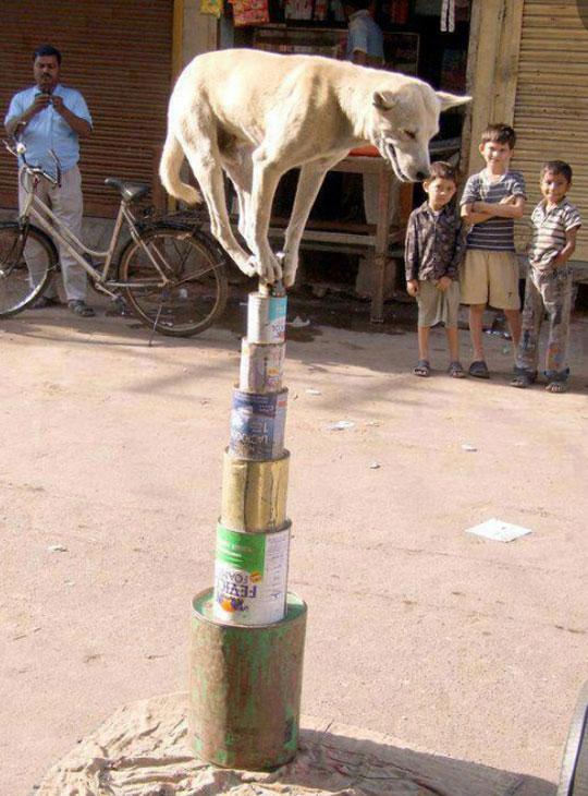 funny-dog-balancing-cans