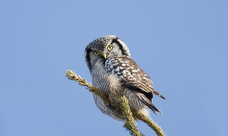 northern-hawk-owl-4
