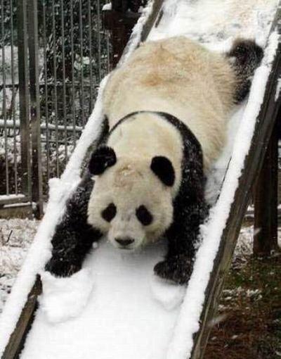 sliding_polar_bear