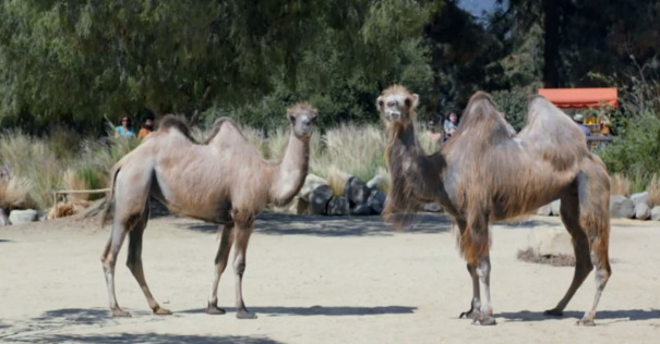 Geico-Camels