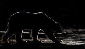 night-bear