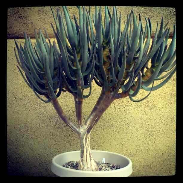 aloe ramosissima - Copy