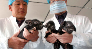 Chines researchers hold three cloned pigs born on October 12, 2006 in Harbin, northeastern China's Heilongjiang province, on October 15, 2006. The cloned pigs are the first success case of cloning pigs in China.  Photographer: EyePress News. Credit Line: EyePress News/EyePress City, Province: Harbin, Heilongjiang. Country: China. Region: China. Source: EyePress.  **** This photo was licensed for one time use only. PLEASE CLEAR THE COPYRIGHTS WITH THE OWNER BEFORE REPUBLISHING THIS IMAGE.****